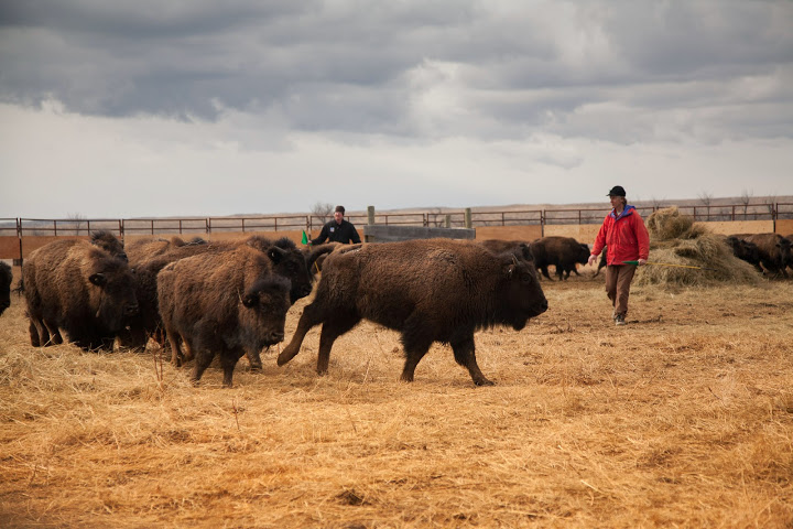 A clean bill of health for APR bison and a fresh start with Phillips County