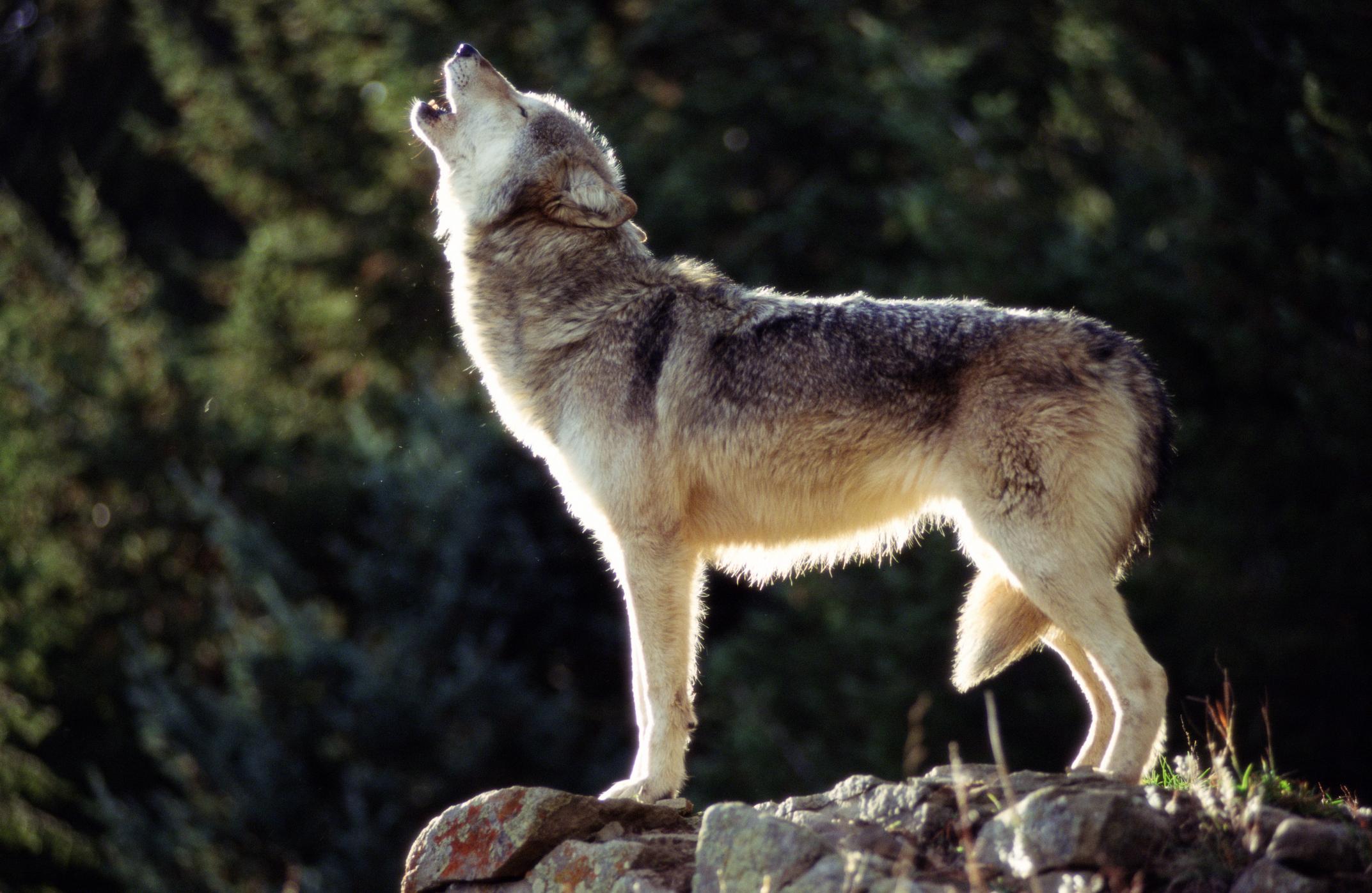 Anti-predator hysteria dominates Montana Legislature