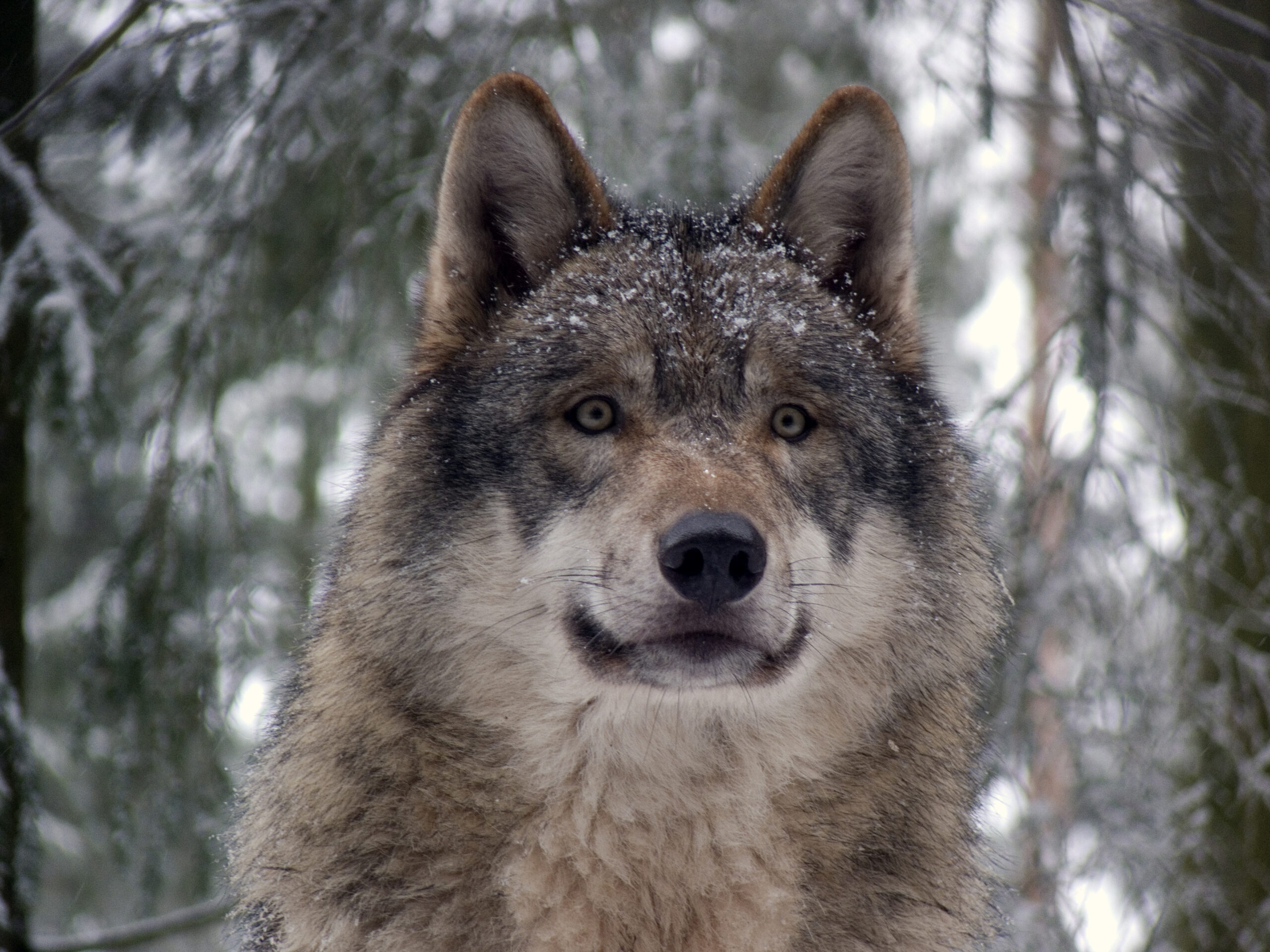 New increased wolf harvest plan goes out for public comment