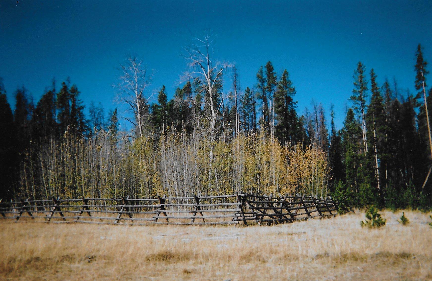 Aspen tree decline in West due to cattle grazing