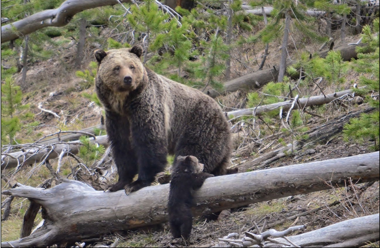 Delisting, protecting cattle and managing conflict: How grizzlies fared the 2021 legislative session