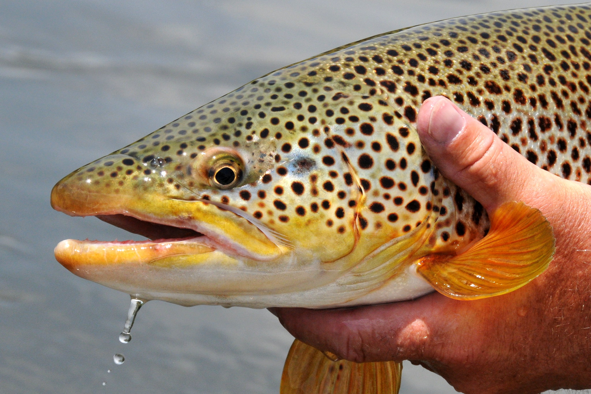 Bad drought and dead trout tragedy foreseeable and avoidable