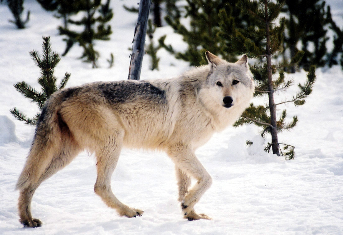 Public comment mostly opposed to proposed wolf hunting rules