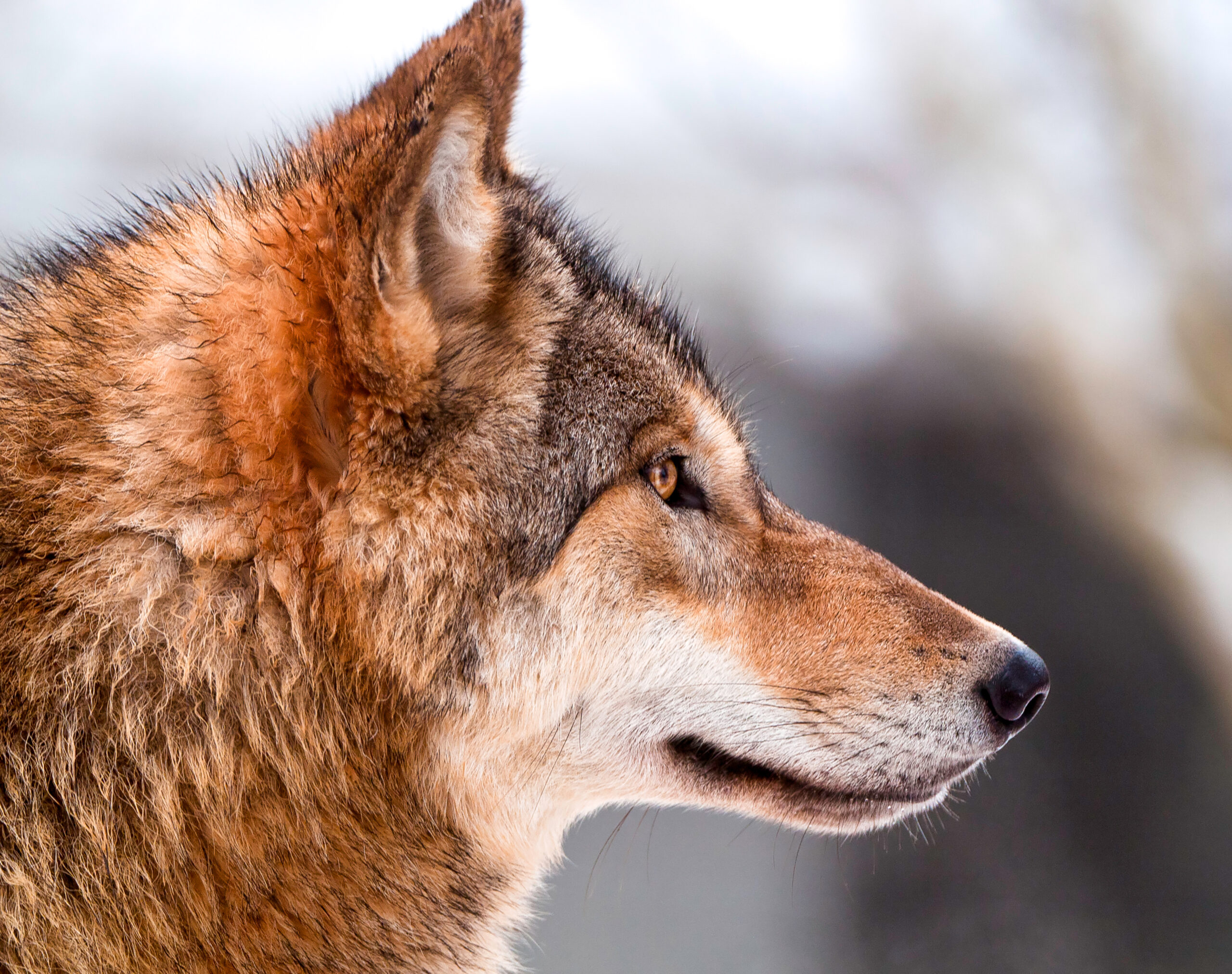 FWP adopts preliminary wolf hunting regulations, including trapping, snaring, baiting